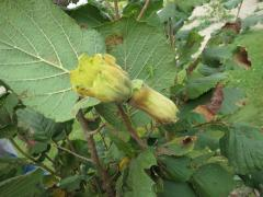 240_Corylus Avellana_noisette-fruit_11-09-2012_16-10-15.jpg