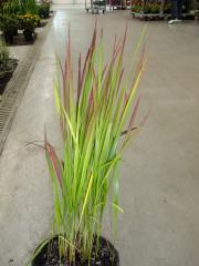 240_Imperata Cylindrica Red Baron_plante-entiere_24-07-2012_19-30-06.jpg